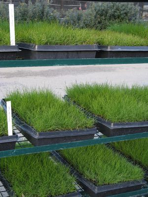 A contract-grown order of Festuca rubra 'Point Molate' ready for delivery