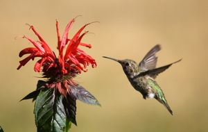 Anna's hummingbird on bee balm (Monarda sp.)