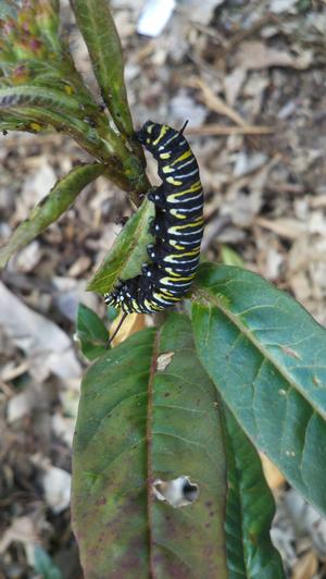 Monarch caterpillar feeding on narrowleaf milkweed (Asclepias fascicularis)
