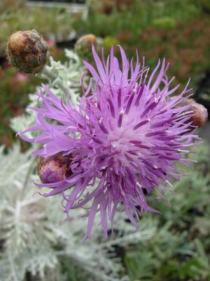 Dusty Miller (Centaurea gymnocarpa) - closeup of flower