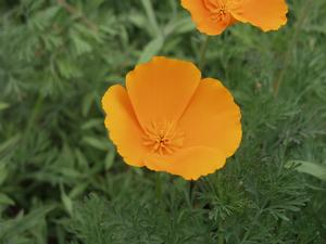 California poppy (Eschscholzia californica) - closeup of flower