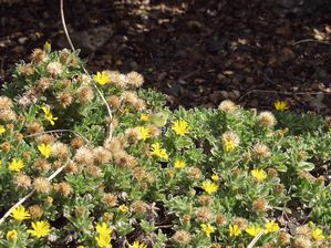 San Bruno Mountain golden aster (Heterotheca sessiliflora ssp. bolanderi 'San Bruno Mountain') - flowers and seedheads
