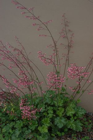 Heuchera micrantha 'Martha Roderick' (Martha Roderick small-leaved alumroot)