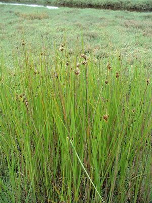Brown-headed rush (Juncus phaeocephalus) at Point Reyes, CA