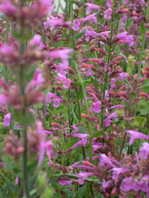 Agastache 'Pink Panther'