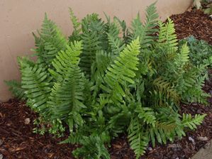 California polypody (Polypodium californicum) in dry shade garden