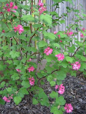 Barry Coates' red flowering currant (Ribes sanguineum 'Barry Coates')