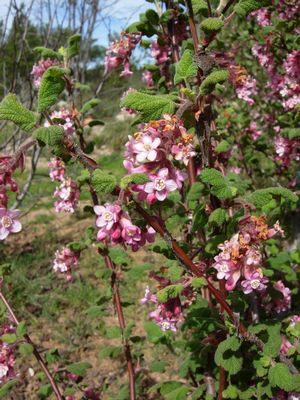 Flowers on chaparral currant (Ribes malvaceum)