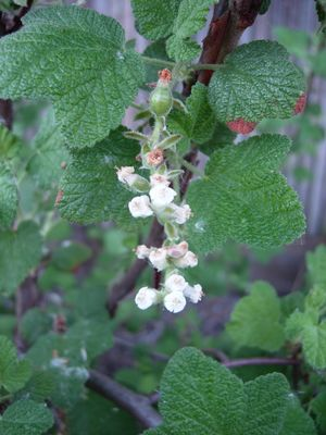 White flowering currant (Ribes indecorum)