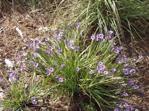 Blue eyed grass (Sisyrinchium bellum) in bloom