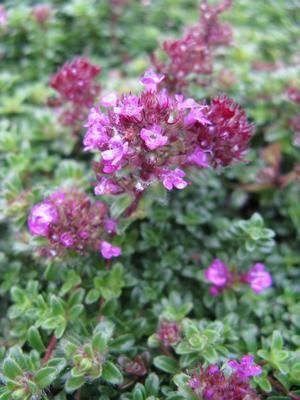 Major Red thyme (Thymus coccineus 'Major Red') in bloom