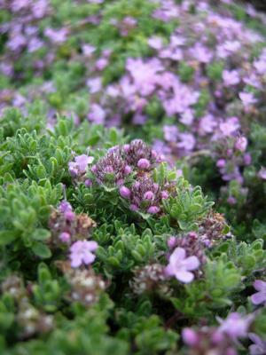 Pink Chintzthyme in bloom
