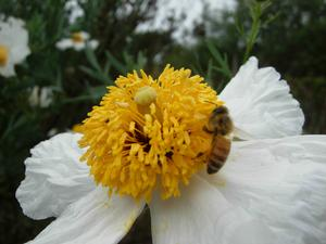 Matilija poppy (Romneya coulteri) - closeup of flower
