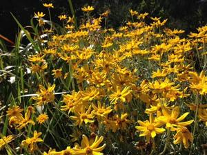 Siskiyou woolly sunflower (Eriophyllum lanatum 'Siskiyou') - Photo: San Francisco Botanical Garden