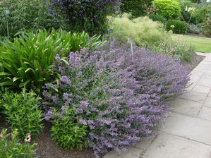 Nepeta Racemosa Walker S Low Walker S Low Catmint From Gold Rush