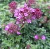 Thymus 'Major Red'