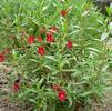 Ruby Slippers Bush Monkey Flower