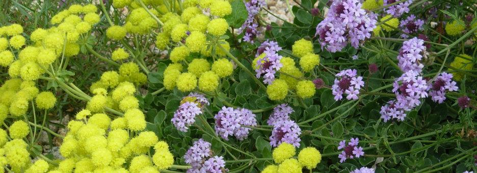 de la Mina verbena and Shasta Sulfur buckwheat