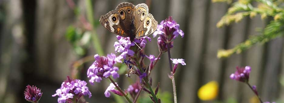 Common buckeye butterfly on Verbena lilacina 'de la Mina'