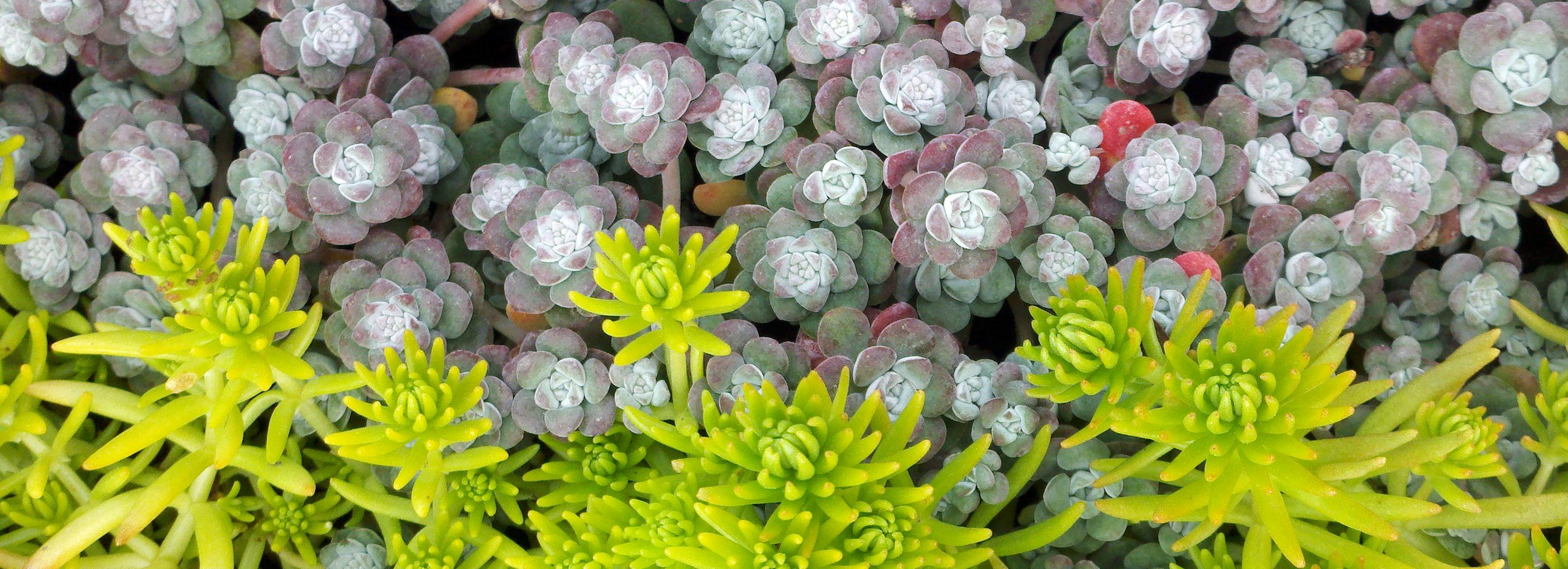 Sedum 'Angelina' and Sedum spathulifolium 'Cape Blanco'