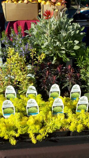 Gold Rush plants on display at the Blossom Hill Farmers' Market