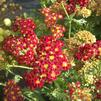 Achillea millefolium 'Strawberry Seduction'