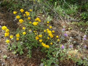 Golden yarrow (Eriophyllum confertiflorum)in the wild with coyote mint