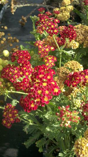 Strawberry Seduction yarrow (Achillea 'Strawberry Seduction')