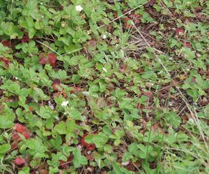 Wood strawberry (Fragaria vesca) used as groundcover
