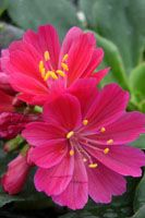 Sunset lewisia (Lewisia 'Sunset Series')