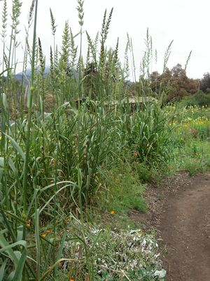 Giant wild rye (Leymus condensatus) at the Santa Barbara Botanic Garden CA