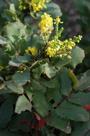 Shining netvein barberry (Mahonia dictyota)