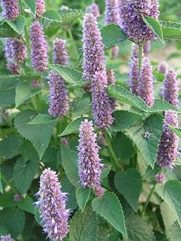 Agastache Blue fortune mint