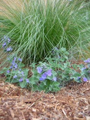A young Blue Wonder catnip (Nepeta racemosa 'Blue Wonder' in front of Molate Blue red fescue (Festuca rubra 'Molate Blue')