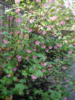 A young Claremont pink flowering currant (Ribes sanguineum var. glutinosum 'Claremont') in bloom