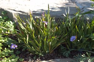 Rocky Point dwarf blue eyed grass (Sisyrinchium bellum 'Rocky Point')in rock garden