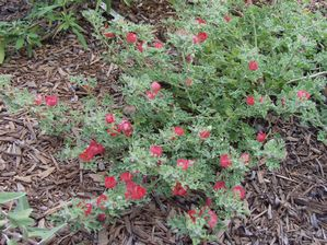 Scarlet mallow (Sphaeralcea philippiana) in full bloom