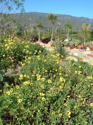California sunflower (Encelia californica) in full bloom at Seaside Gardens, Carpenteria CA