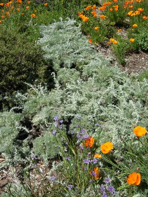 Artemisia pycnocephala 'David's Choice' (David's Choice dune sagewort) with California poppies and blue-eyed grass