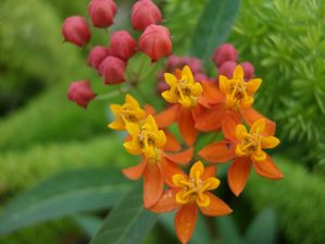 Asclepias curassavica (scarlet milkweed) - closeup of flower