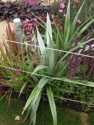 Astelia chathamica 'Silver Spear' - landscape planting with salvia, Japanese bloodgrass and gaura