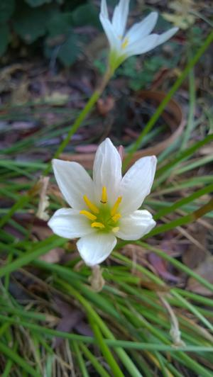 Rain lily (Zephyranthes candida) blooming in light shade in October